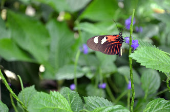 Photo: The Red Postman (Heliconius erato) is distantly related to the postman butterfly (Heliconius melpomene). Both are known as Longwings.
