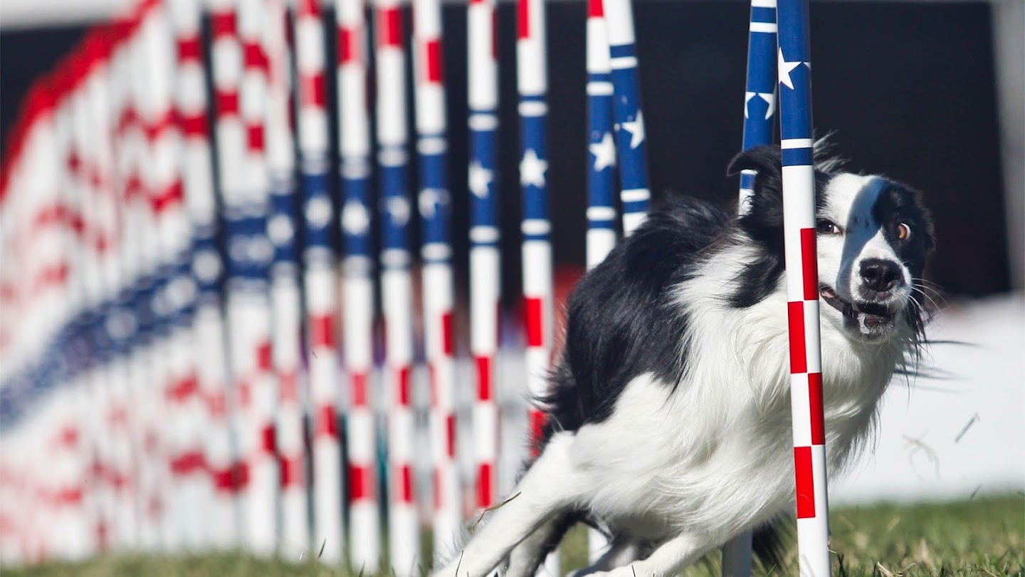 Watch Incredible Dog Challenge National Finals live