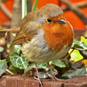 Robin by Martin Brown - Animals Birds ( bird, robin, lumix, outdoors, close up, garden,  )