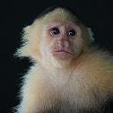 Mono capuchino (Colombian white-faced capuchin)