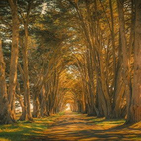 Cyprus Tree Tunnel by Matthew Clausen - Landscapes Forests ( francisco, san, usa, tree, california, cyrpus, tunnel )