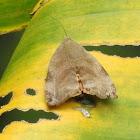 Teak defoliator moth