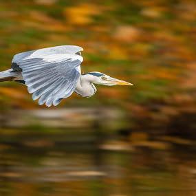 Grey Heron in Flight by Pascal Bénard - Animals Birds ( bird, flight, grey heron, animals in motion, pwc76, motion, animal in motion, animal )