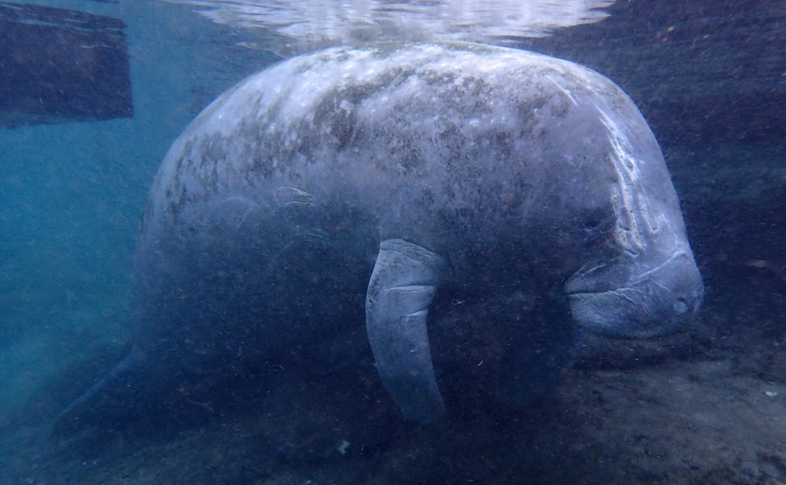 swim with manatee florida