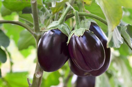 https://media.istockphoto.com/photos/ripe-purple-eggplants-picture-id1175349177?b=1&k=6&m=1175349177&s=170667a&w=0&h=KT1lgvMgBrtLo9XO4XBEYIqPqVH-c2CE468sQgIfcws=