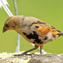 Vira-bosta-picumã (Screaming Cowbird)