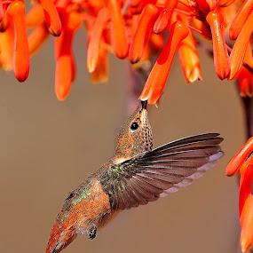 Hanging by Dan Pham - Animals Birds (  )