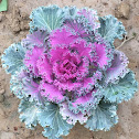Ornamental Cabbage / Kale