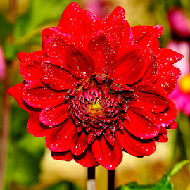 Dalhia écarlate by Gérard CHATENET - Flowers Single Flower