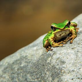 poisonous rock frog 2 by Frederiko Ferry - Animals Amphibians ( tropical frog, frog, poison frog, amphibian, rock frog, river frog, animal,  )