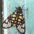 Yellow-Banded Tiger