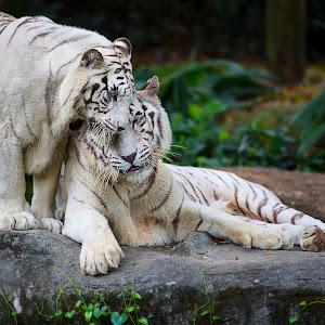 White Tigers pixoto.jpg