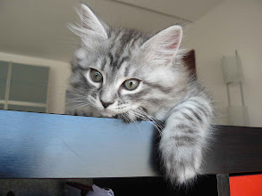 Photo: Quimey - 2 meses  (blue silver tabby)