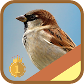 Eurasian Tree,Chipping Sparrow