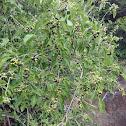 premnaserratifolia