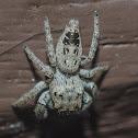 Metaphidippus Jumping Spider / Aranha-Saltadora-Metaphidippus