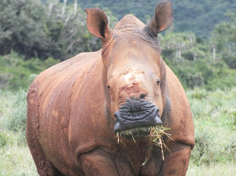 Thandi the miracle rhino at Kariega Game Reserve near Kenton-on-Sea survived a machete attack where poachers hack the horn off at the roots.