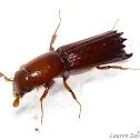 Auger Beetle