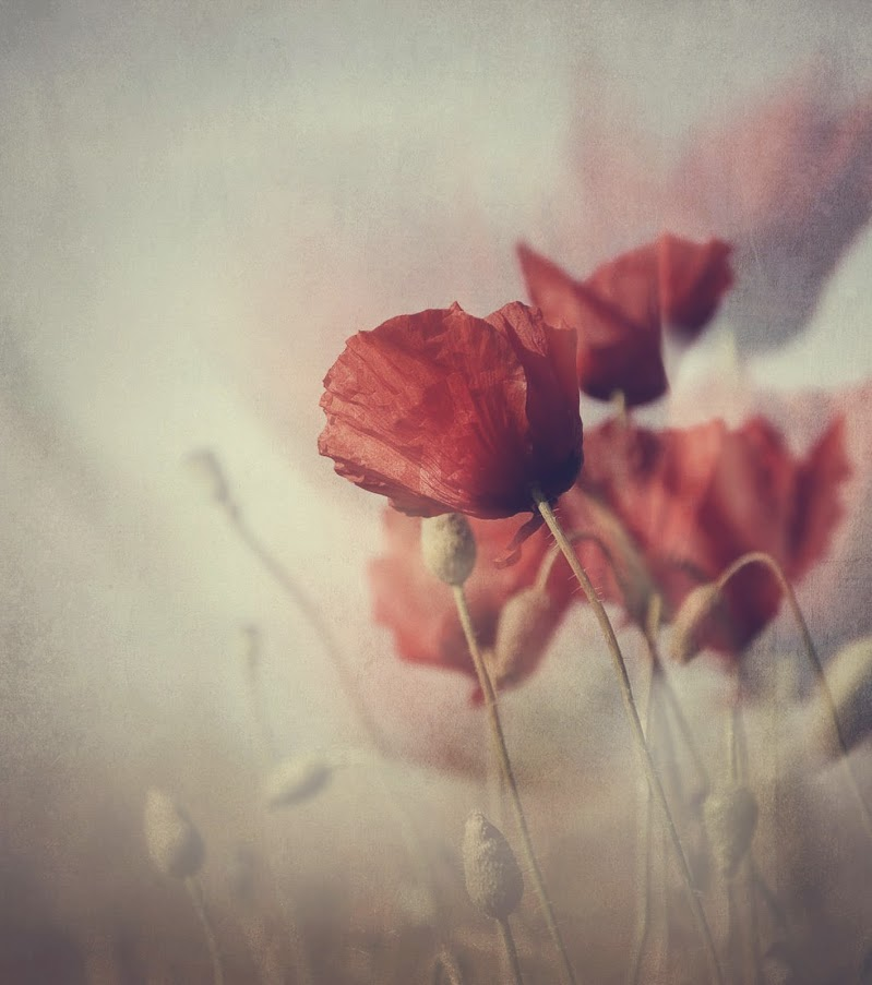 Flying poppies di Erato