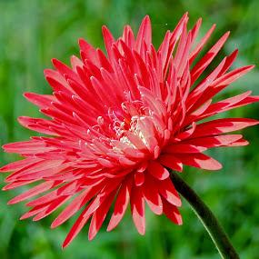 red beauty by SANGEETA MENA  - Flowers Flowers in the Wild (  )