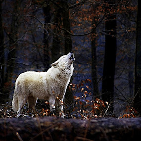 crying wolf by Thomas Renner - Animals Other Mammals