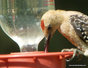 Photo: Adult male Gila Woodpecker feeding at a hummingbird feeder, San Pedro River Visitor Center, southeast Arizona