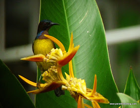 "Photo: ""Bornean"" Brown-throated Sunbird, an endemic subspecies, photographed in Sepilok but seen throughout Sabah"
