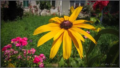 Photo: Bulgări de soare, Rujă galbenă (Rudbeckia fulgida) - din Turda, Str. Constructorilor, Nr. 2  spatiu verde - 2019.06.16
