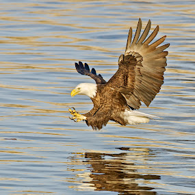 Got Ya! by Mark Theriot - Animals Birds ( water, flight, eagle, 2112, fishing, eagles, claws )