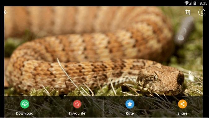 Скриншот Death Adder Snake Wallpaper