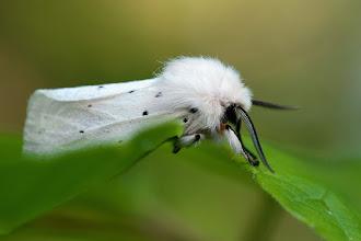 Photo: Spilosoma lubricipeda, Ecaille tigrée  http://lepidoptera-butterflies.blogspot.com/