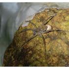 Arctosa subamylacea 近阿米熊蛛