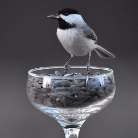 Champagne and a Cigar by Linda Brooks - Animals Birds ( bird photography, bird photos, nature up close, bird seed, chickadee )