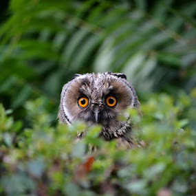 Owl by Ciupe Simona - Animals Birds ( simona )