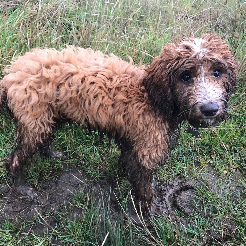 Muddy BorrowMyDoggy dog