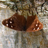 Dingy purplewing butterfly