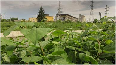 Photo: Iulişca (Fallopia japonica), planta invaziva, pe malul Raului Aries, zona industriala - 2018.05.10