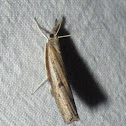 Changeable Grass-veneer Moth
