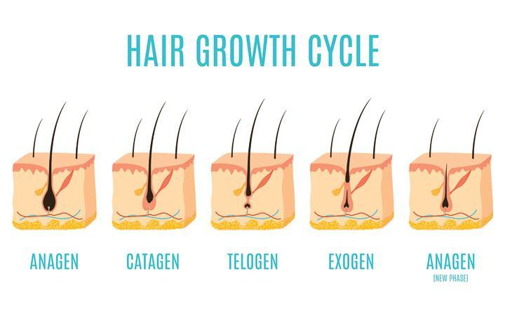 anagen catagen telogen exogen anagen