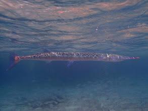 Photo: Tylosurus crocodilus (Crocodile Needlefish), Miniloc Island Resort Reef, Palawan, Philippines.