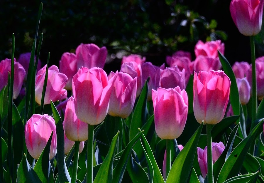 Pretty Pink by Ann Carper - Flowers Flower Gardens ( flowers; tulips; sherwood gardens; spring; maryalnd,  )