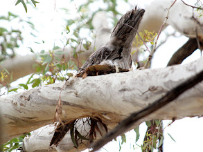 Photo: Tawny Frogmouth on nest