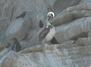 Photo: Peruvian pelican - Humboldt penguin to the left -  Pacific Ocean n. of Vina del Mar, Chile - Nov 15, 2011