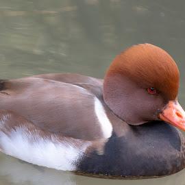 duck by Bert Templeton - Animals Birds ( orange, red, white red, white, duck, goose, texas, brown, ducks, water )