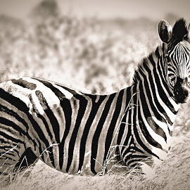 Zebra by Pieter J de Villiers - Black & White Animals