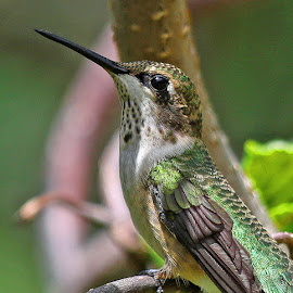 Ruby-throat Hummingbird by Anthony Goldman - Animals Birds ( upclose, bird, hummingbird, female, ruby -throat, chicago, wild, botanic garden, wildlife,  )