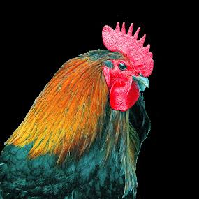 Cock by Vladimir Krizan - Animals Birds