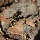 Velvet Ant