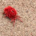 Red Velvet Mites