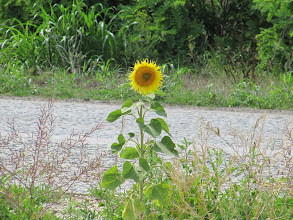 Photo: Day 87 - Sunflower in the Middle of the Road!